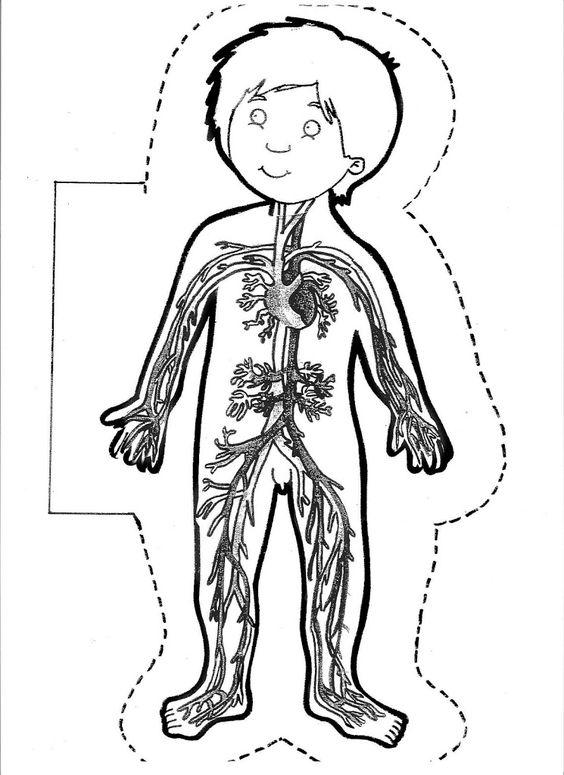 Sistema Circulatorio para Colorear | Juegos COKITOS