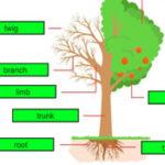 Partes del Árbol en Inglés