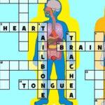 Crucigrama Cuerpo Humano en Inglés