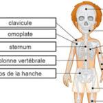 Huesos del Esqueleto en Francés