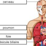 Órganos del Cuerpo en Francés