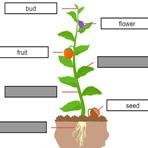 Partes de la Planta en Inglés